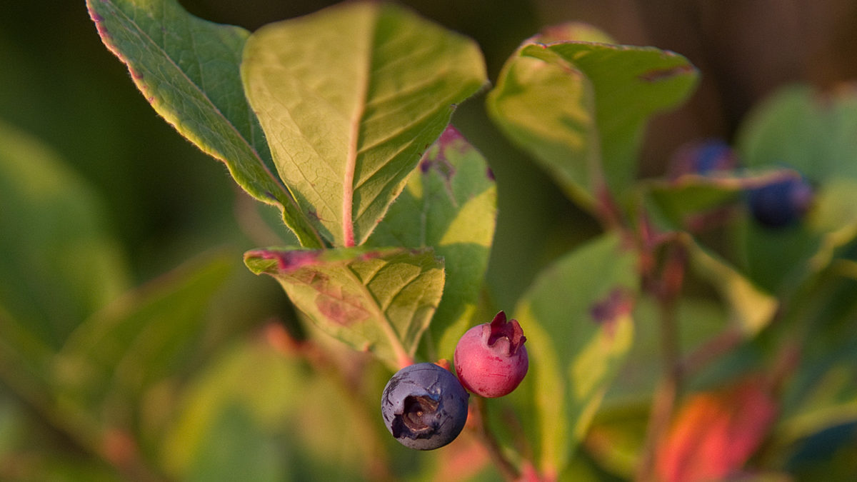 <b>Blueberries:</b> Food for Thought