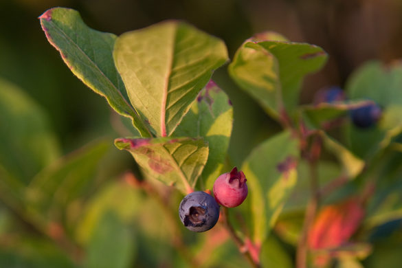 Photograph of blueberries on a wild blueberry bush