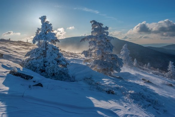 Photograph of snow drifts surrounding Fraser Fir trees on Round Bald North Carolna