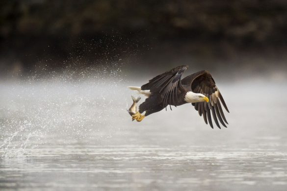 Photograph of an adult bald eagle grabbing a fish from the water