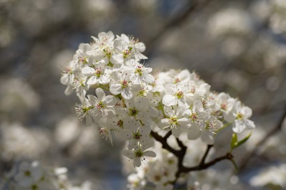 Closeup photograph of Bradford pair blossoms