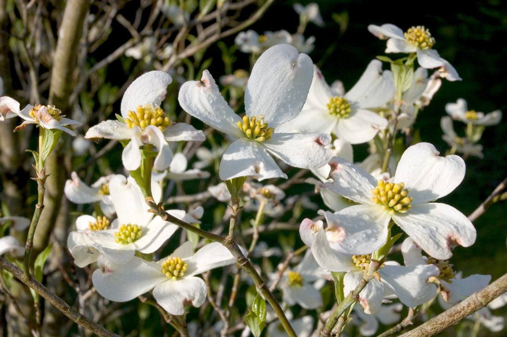 Photograph of dogwood blossoms with drops of dew on the petals